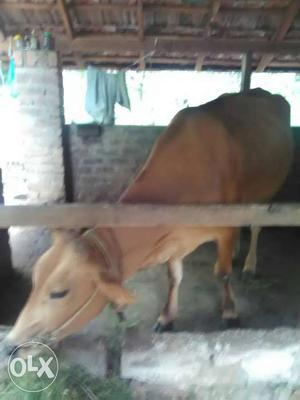 Buffalo murrah nasal ki female calf padiya | Posot Class