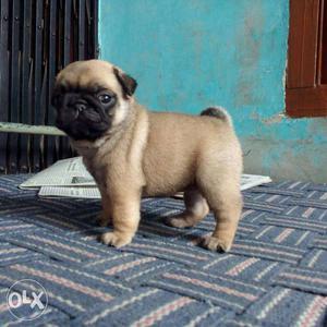 Heavy bone pug pupp Labrador puppies n all breed pupp