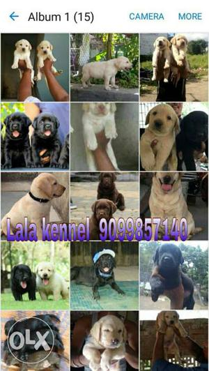 Labrador puppies READY FOR NEW HOMES (Pure breed)