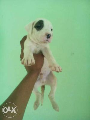 Pittbull male pup for sale 1 pup