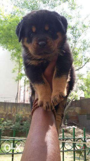 Rottweiler pups rs  and German Shepherd pups available
