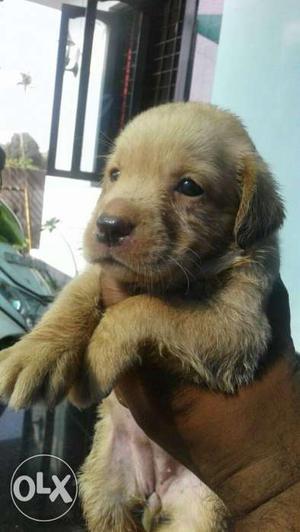 Show quality Labrador Retriever Puppy