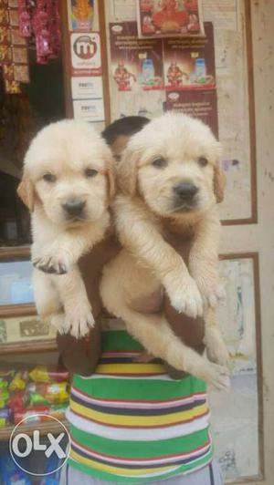 We Buy and sell all Breeds of puppies