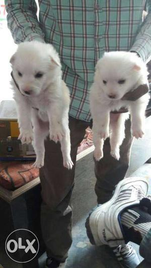 White Coat pure breed German pom spits Puppies all breed