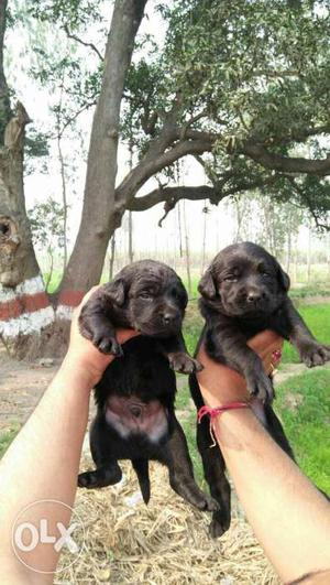 Black and cream Labrador Puppies all breed pupp available