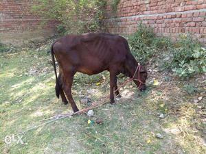Black sahiwal crose bachia 12 month only black