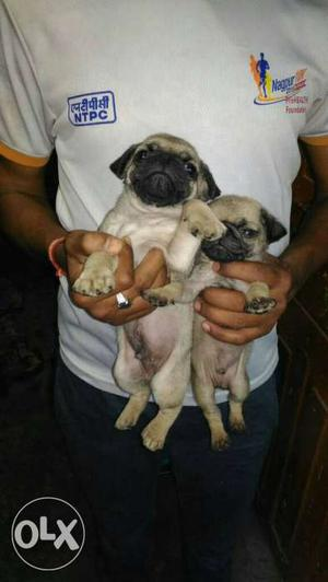 Charming pug puppies available male  Female