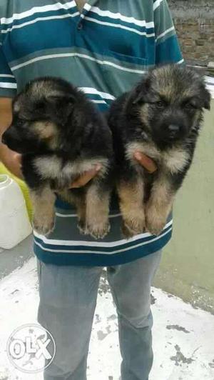 German Shepherd 35 days old puppies male