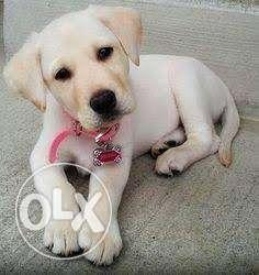 Heavy bone Labrador female puppy active and gentle