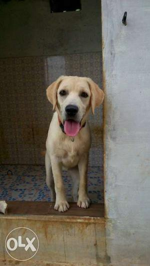 Heavy quality champion lineage 6 month old Labrador female