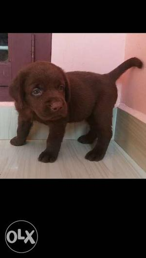 Labrador import line and champion line pup
