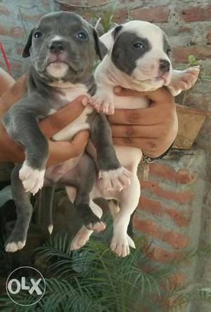 Pitbull pure american line american bully male female pups