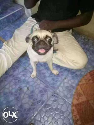 Pug puppy for sales low price