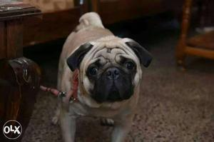 Pure high breed male pug ready for mating