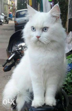 Pure white Persian male ready for mating..