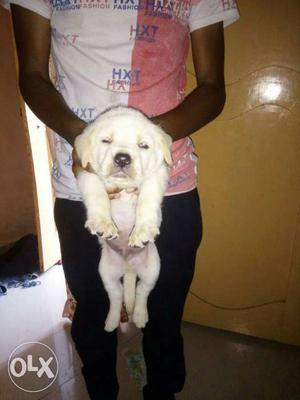 Show quality heavy size heavy head male lab puppy