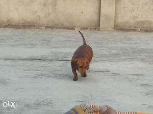 Dehsound female 1 and half year old... bhut