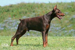 Doberman Male needed for Mating​