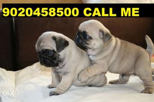 GUD quality pug puppy for sell male female