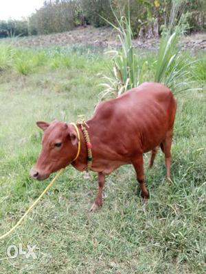 No.1 Rare pics vechur cow