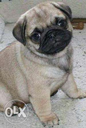 PUG puppies available ready to go new home call