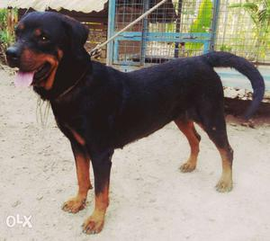 Rottweiler female 2year not matted yet very