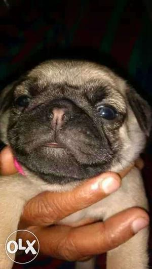 Show quality pug puppy's for sale