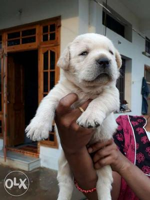 Top Qulity Lab Female Pup For Sale