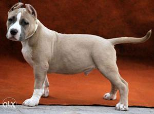 American Pitbulls Pups available KCI certified Import