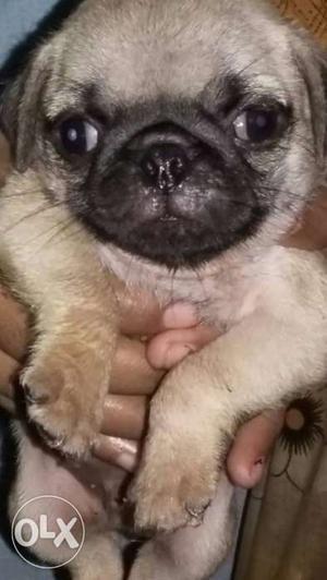 Fawn Pug In Kollam