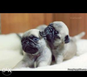 Pure breed pug puppies available here.miniature