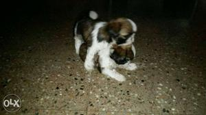 Two Tricolor Shih Tzu Puppies