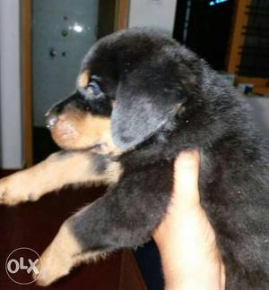 35 days old Rottweiler male puppy for sale good