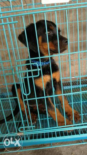 35 days old female Rottweiler on sell nice