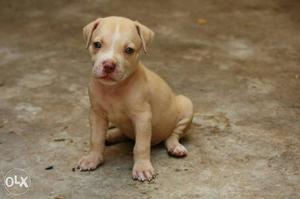 No 1 american bully dog39s puppy for sale | Posot Class