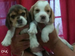 Beagle available tricolor puppies male