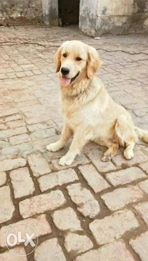 Golden retriever male 11 months old pure quality