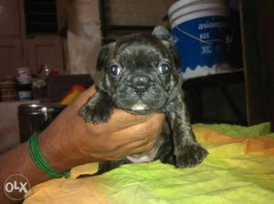 High quality cute french bull dog for sale