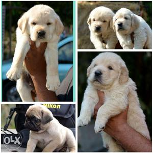 Import Line show quality puppies available in