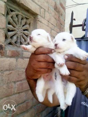 Milky white smal size pom pupp sel at amritsar