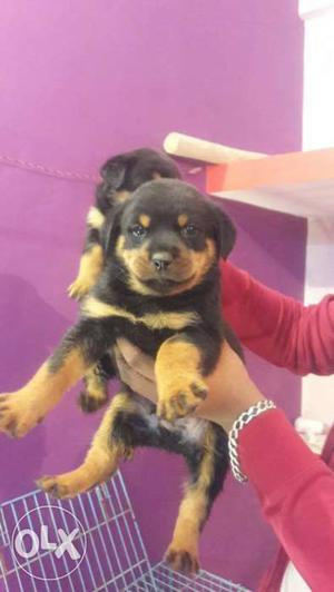 Show quality Rottweiler female puppy avilable for show home.