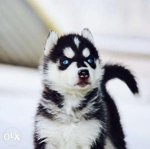 Siberian husky puppy's kci reg Import and champion blood