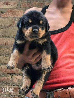 We have excellent quality Rottweiler puppy for
