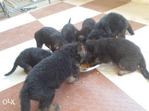 All Breed Puppies Available For Sale