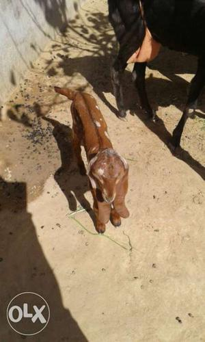 Goat for sale in tuticorin | Posot Class