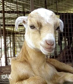 Boer Cross Talacherry cross breed goats for sale