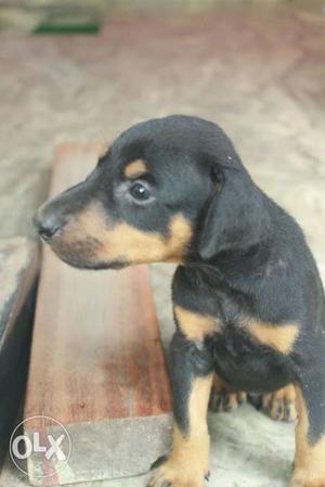 Dobbermann puppyes for sale in ernakulam