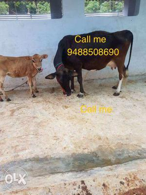 Moti cow with calfs for sale in marthandam