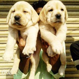 Original Dog breed LABRADOR, GOLDEN RETRIEVER Puppies in