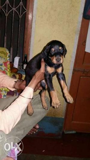 Show quality doberman puppy for sell at pet point